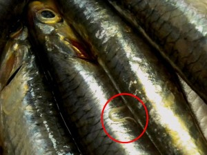 Anisakis sp. Vermi nematodi parassiti che si trovano nel pesce crudo