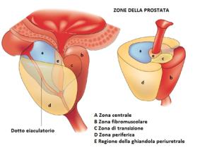 Conformazione della prostata e suoi rapporti con la vescica urinaria.