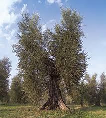 Olio d'oliva . Cibi per la Zona Mediterranea.